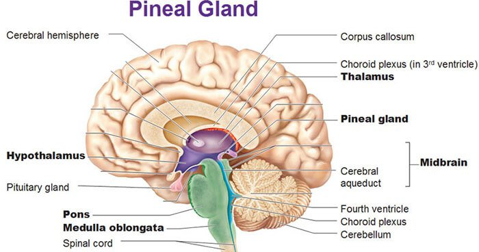 Image result for pineal gland